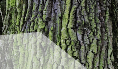 old oak bark texture as very nice natural background